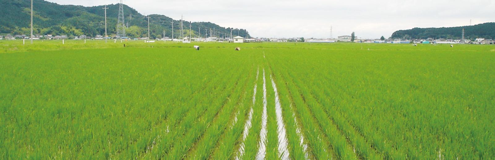 無肥料自然栽培米とは?
